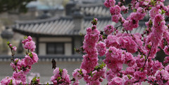 Korea_Changdeokgung_20140407_16