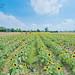 2016.Jun sunflower @Taoyuan桃園向日葵