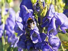 blossom(0.0), purple(0.0), blue(0.0), honey bee(1.0), flower(1.0), plant(1.0), invertebrate(1.0), membrane-winged insect(1.0), wildflower(1.0), flora(1.0), bee(1.0), bumblebee(1.0),