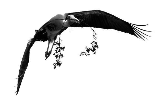 Painted Stork - Nesting