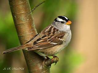 White-crowned Sparrow 1 - Vancouver, British Columbia
