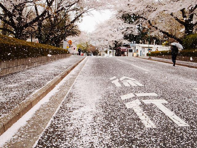 花吹雪 / A shower of blossoms