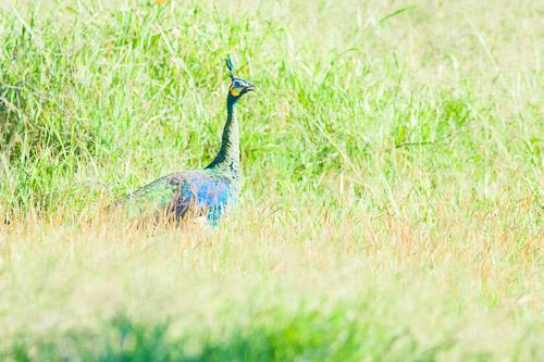 Green Pea-fowl