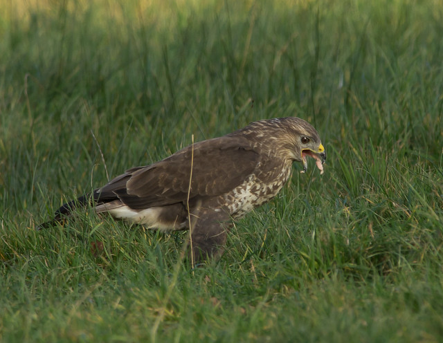 common buzzard on ground 4