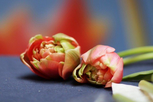 Close up of tulips at last year's sale