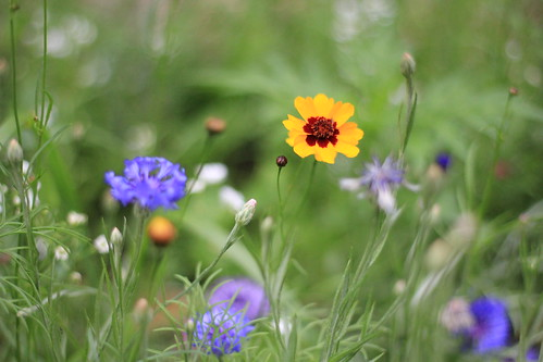 flowers nature colors 50mm bokeh wildflowers t2i