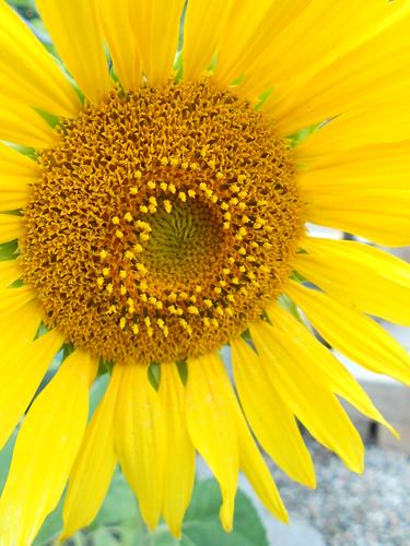 Yellow Sunflower June 2012