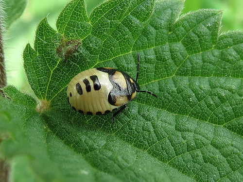 Pied Shieldbug - Tritomegas bicolor(final instar larvae)