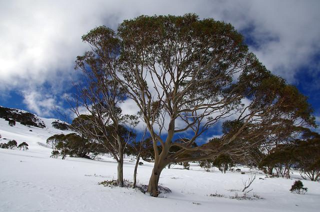 Snowy Mountains Trees