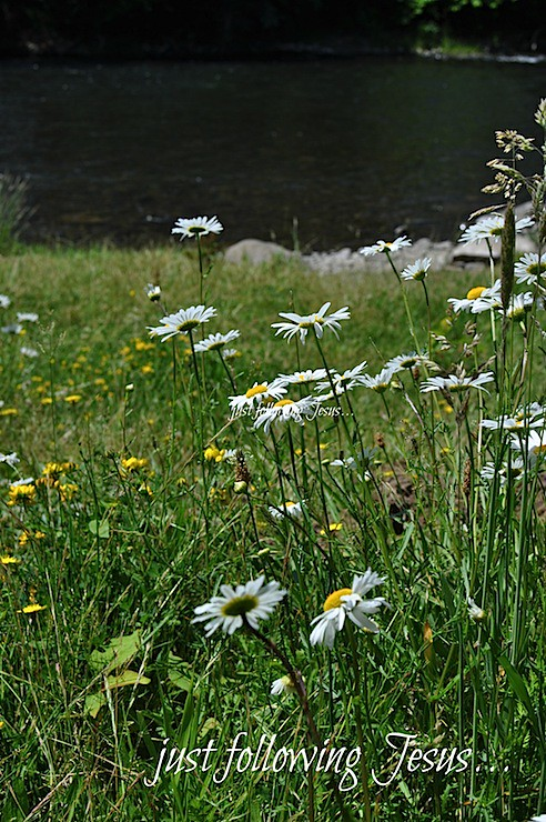 daisies by the river 1.jpg