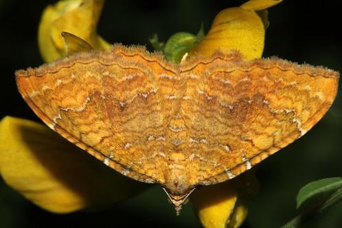 1742 Yellow Shell Moth 9631