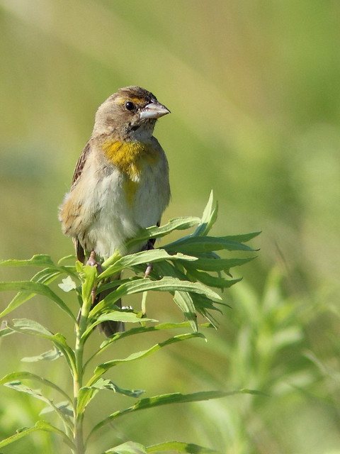Dickcissel female 20120709