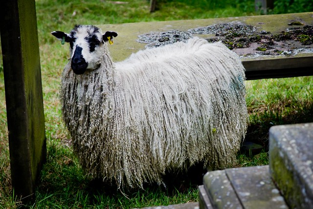 Dreadlock Sheep
