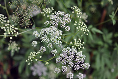 yarrow(0.0), blossom(0.0), shrub(0.0), meadowsweet(0.0), caraway(0.0), apiales(1.0), flower(1.0), branch(1.0), cow parsley(1.0), plant(1.0), herb(1.0), anthriscus(1.0), wildflower(1.0), flora(1.0),