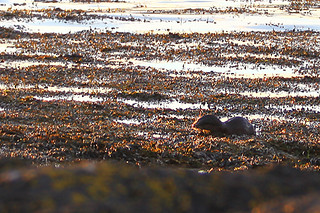 Otter in shallows 1