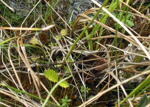 Sundew - Cedar Bog State Nature Preserve