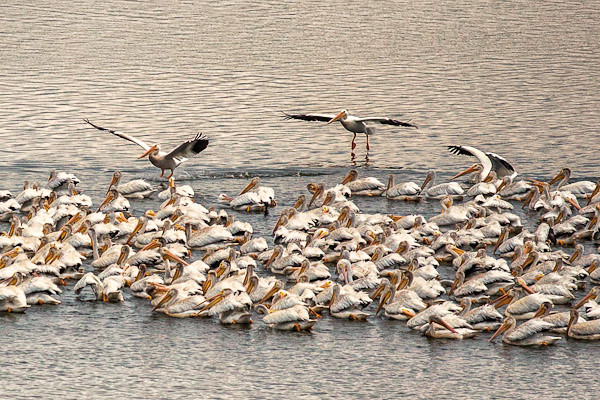 American White Pelicans on the Upper Mississippi