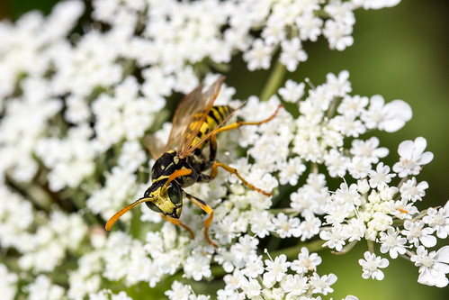 Wasp on Queen Anne's Lace