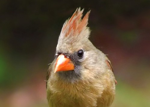 Never underestimate the beauty of a female Cardinal