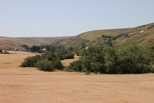Wheat fields near Pomeroy