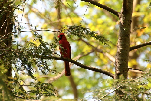 ~The Cardinal Came to Visit~