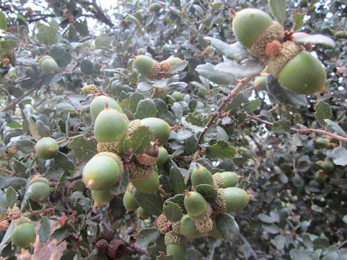 acorns, ripening