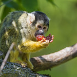 Squirrel monkey eating a red fruit