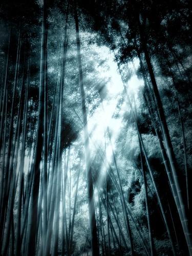 竹林 / Bamboo grove