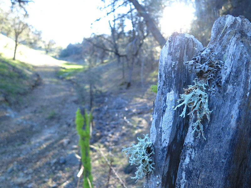 Old fence posts sprouting lichen and moss on the Ohlone Trail.