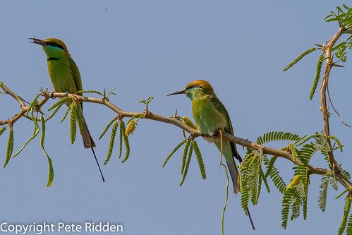 birds meropsorientalis beeeater greenbeeeater indianbirds