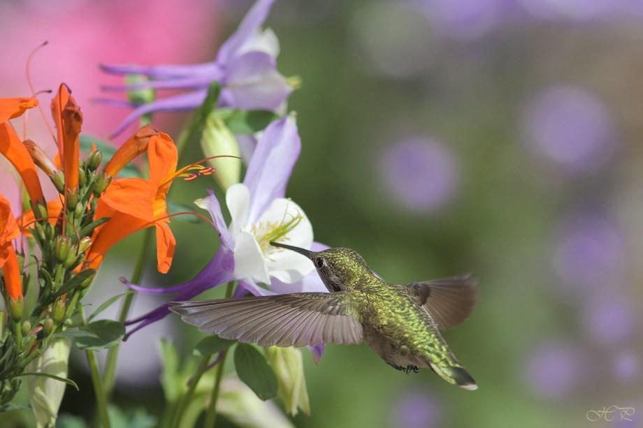 Anna's Hummingbird 032214