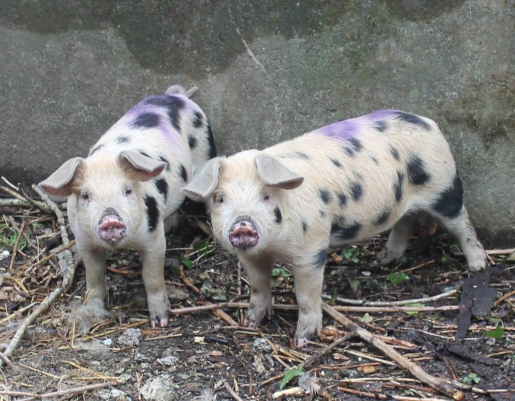 spotty pigs
