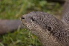 harbor seal(0.0), marmot(0.0), animal(1.0), mustelidae(1.0), mammal(1.0), fauna(1.0), sea otter(1.0), close-up(1.0), whiskers(1.0), wildlife(1.0),