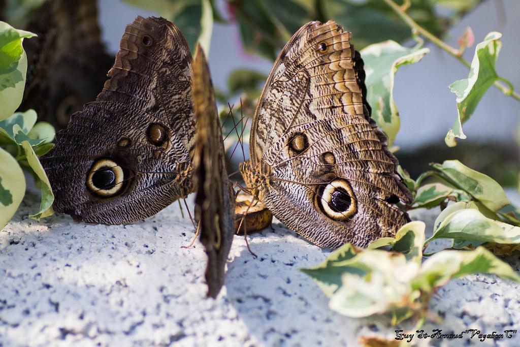 Papillons  13644009754_c0db7bdf77_b