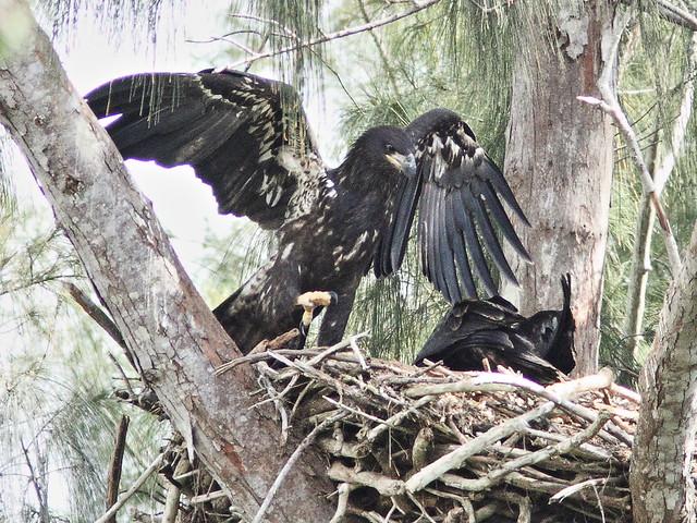 Bald Eaglets 3-20140413