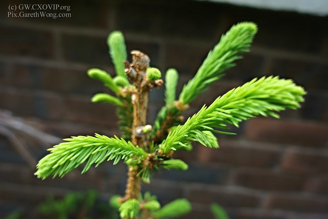 soft new growth on christmas pine tree from RAW _DSC9941 closeup