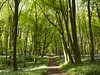 Irish Woodland in May