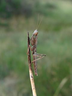 Mantidae, Ameles heldreichi
