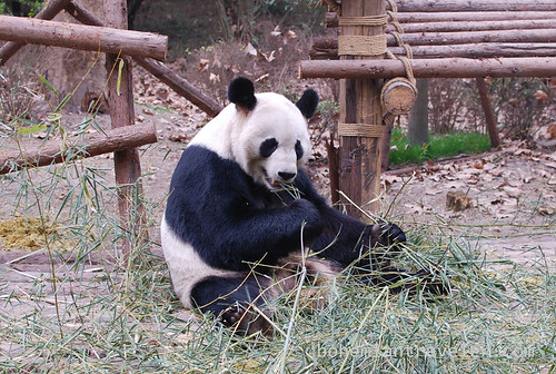 Pandas in Chengdu China 15