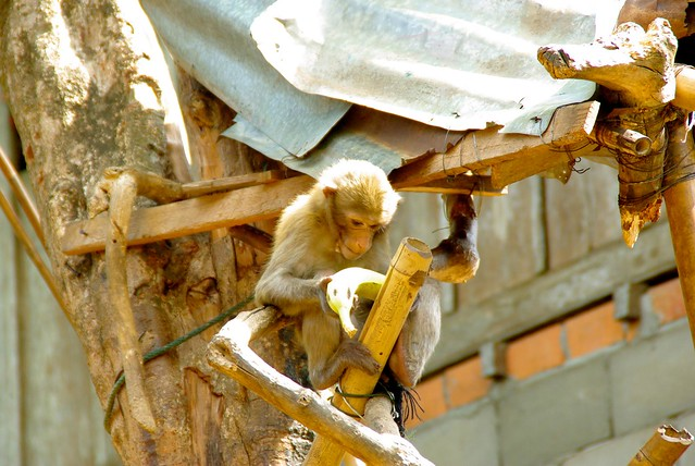 Monkeys in Laos