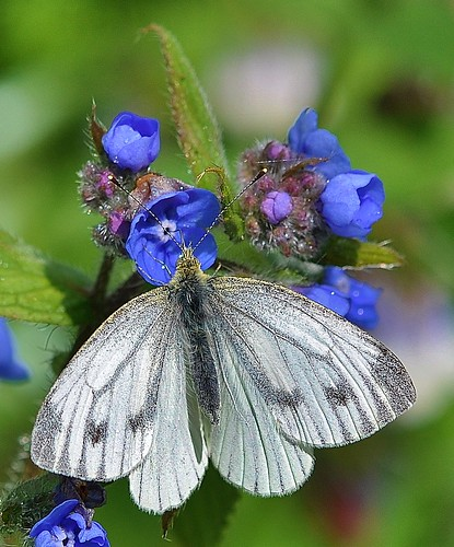 Small White Butterfly by Kinzler Pegwell