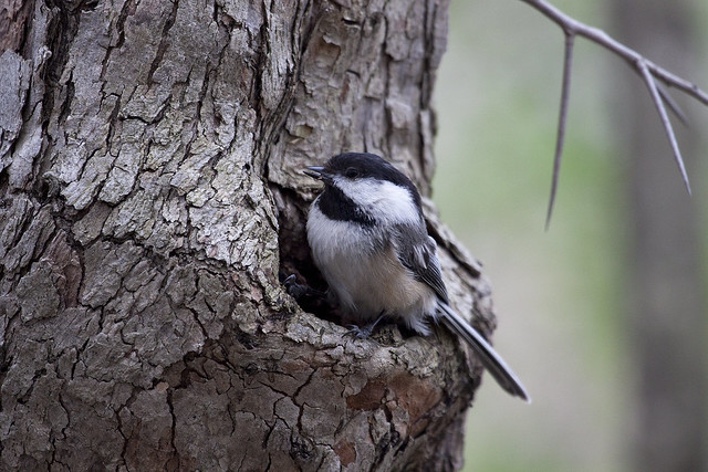 house hunting chickadee3