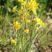 Narcissus jonquilla, Tapeinanthus (Ken Williams)