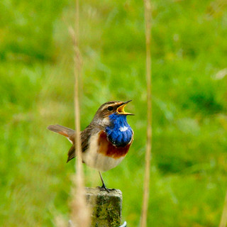 bluethroat singing a wonderful melody.........