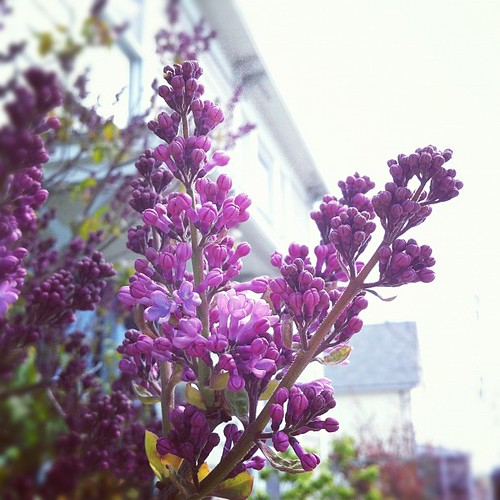 I'm still stunned by this early spring--lilacs blooming in April? #organicgarden #urbangarden #coastalMaine #Maine #lilacs #garden #floraandfauna