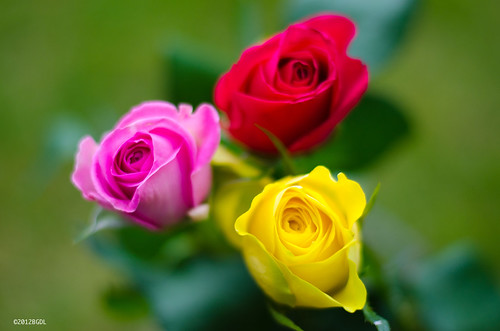 Roses Are Red, Yellow and Pink!