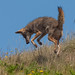 Small photo of Coyote (Canis latrans)
