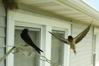 Barn swallow flight 6