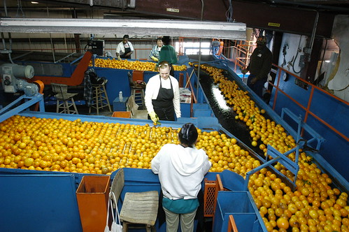 Oranges at the Seald Sweet processing plant in Vero Beach, Florida