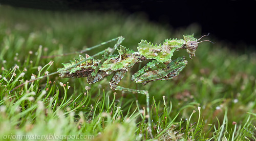 Moss mantis ..IMG_6957 merged copy